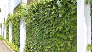 Green curtains an energy-saving initiative for Kyocera