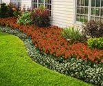 Living mulch offers an alternative to wood bark or chips in the lawn