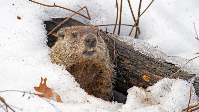 Why Punxsutawney Phil Doesn't Worry About Seeing His Shadow